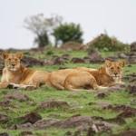 drei Löwen