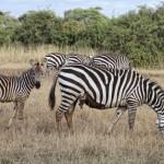 Verletztes Zebra mit Jungtier