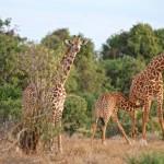 Giraffen mit Jungtier