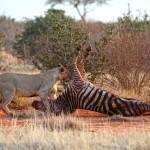Löwin mit Zebra